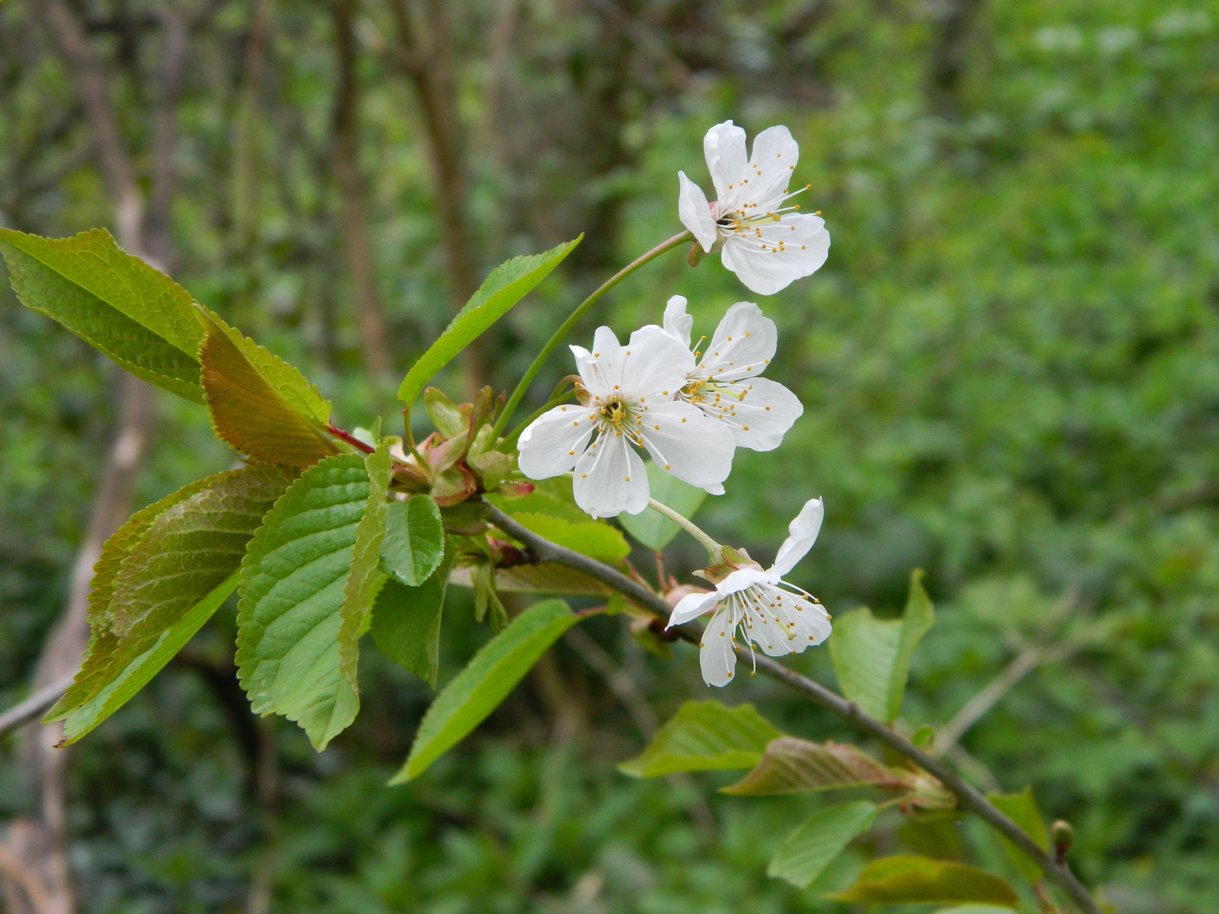 Wild Cherry Blossom.JPG