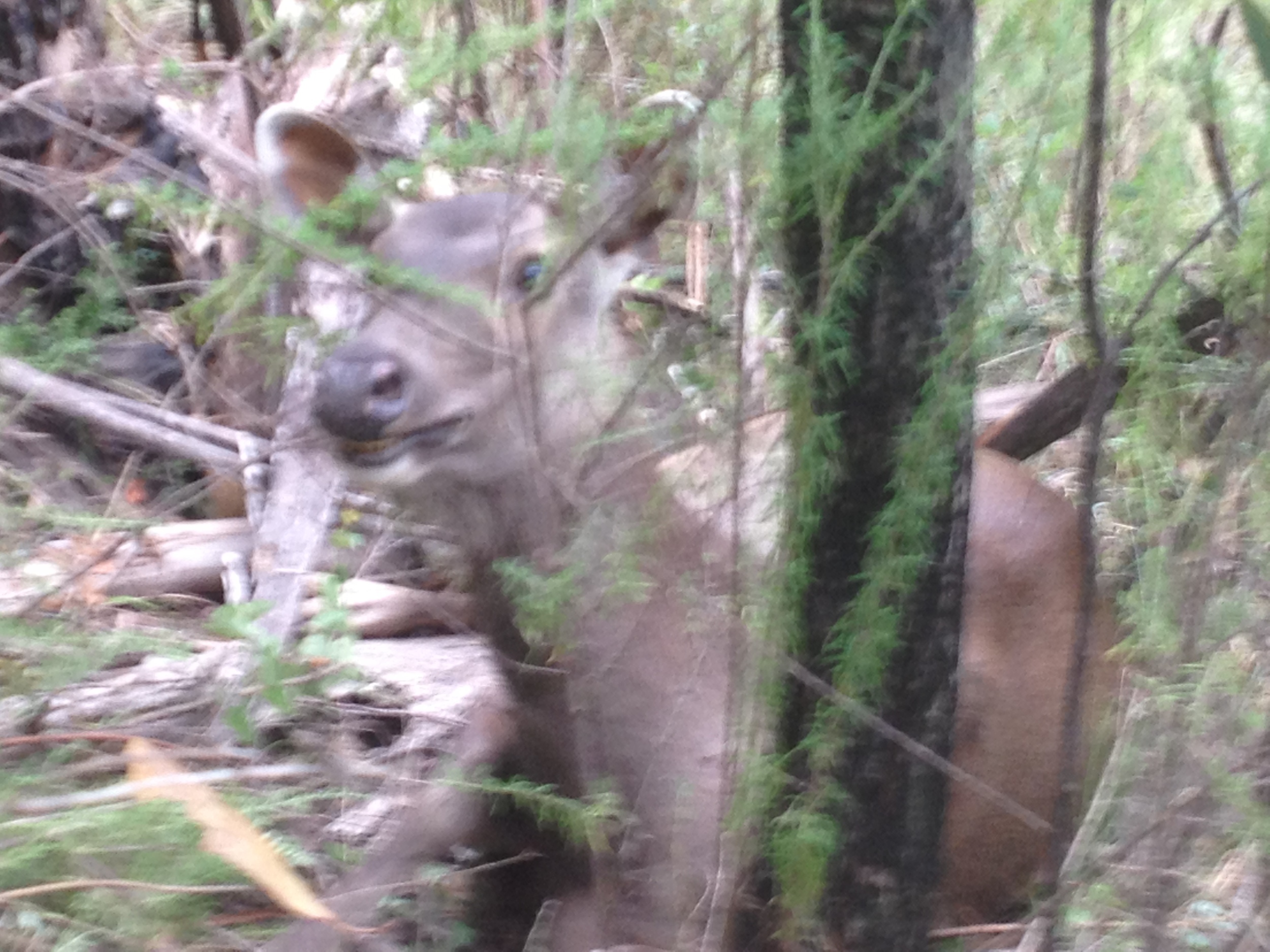 A sambar doe sitting up to see who we are.