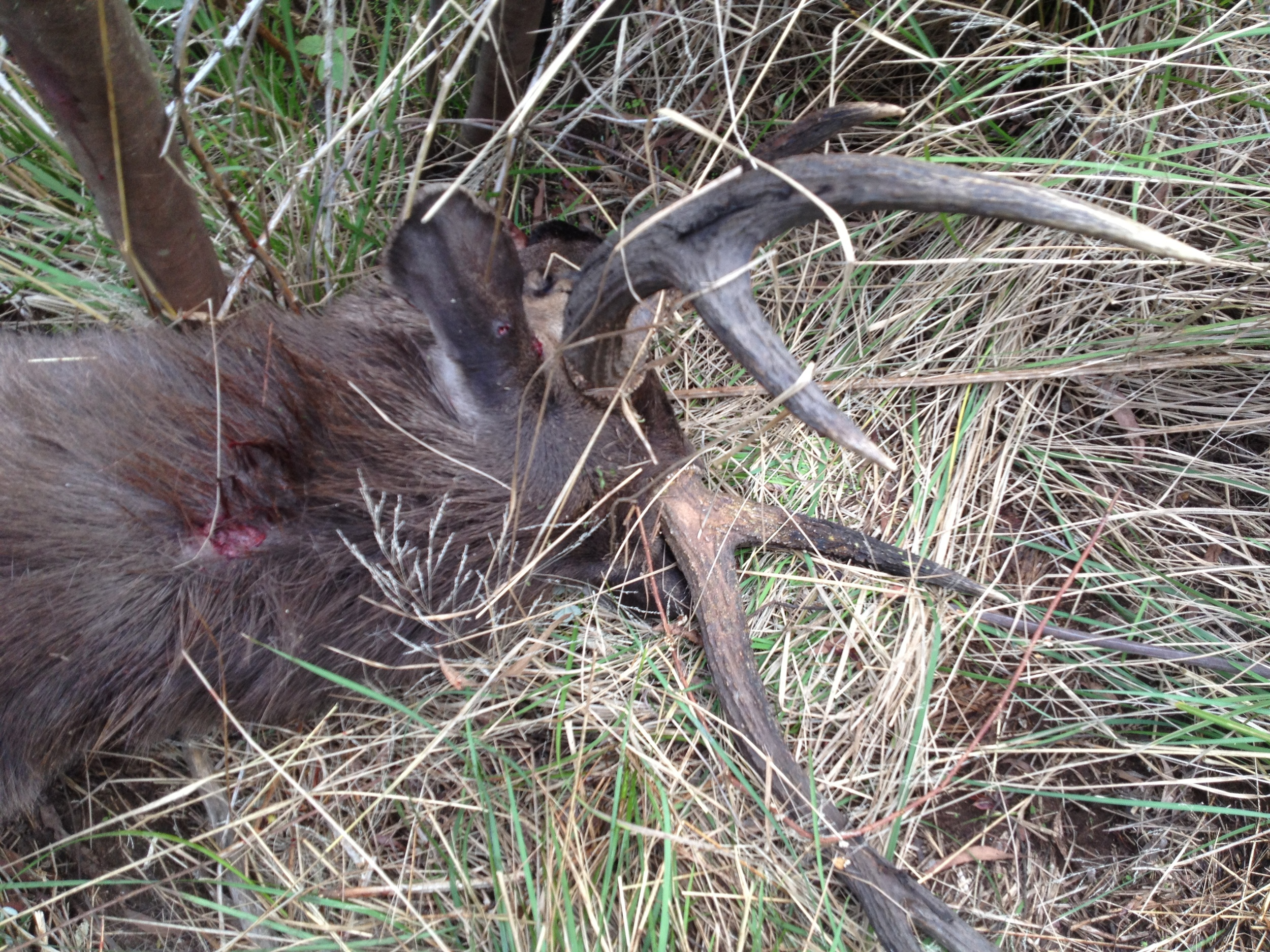 Great shot taken from high above with a .93 through the top of the neck. This big sambar stag didnt take on step.
