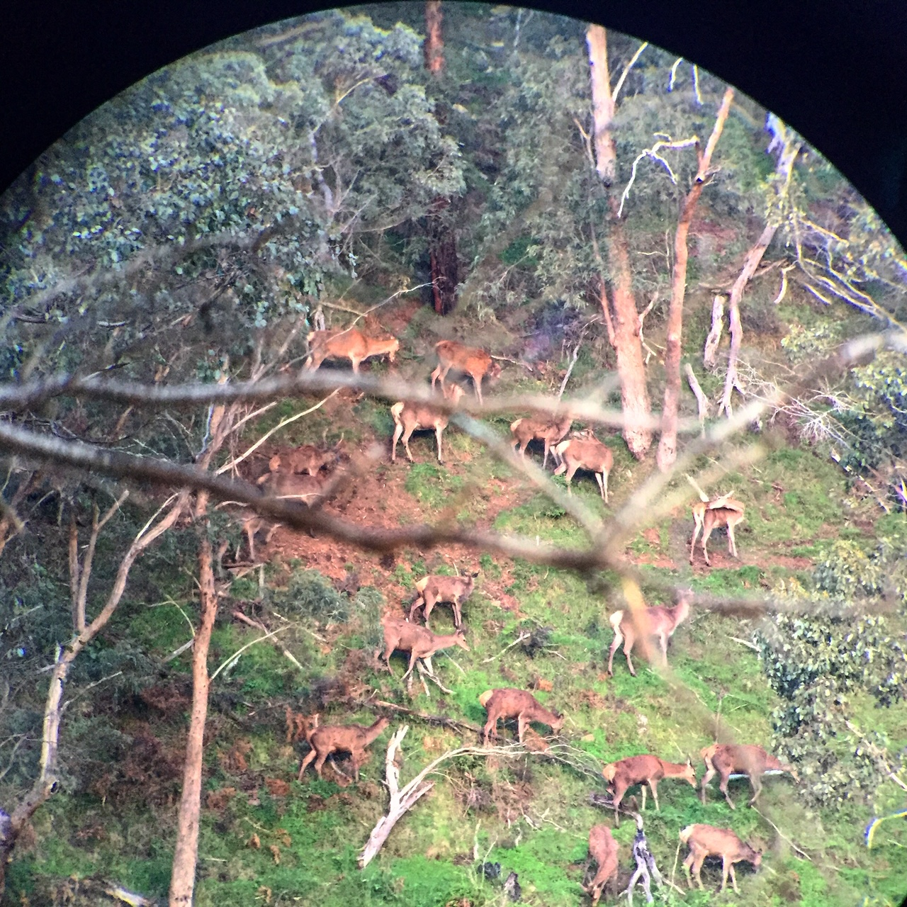 Sitting watching a herd of red deer through the Leica Televid82 spotting scope waiting to see a stag appear… Life here on the private holdings in the Australian high country.