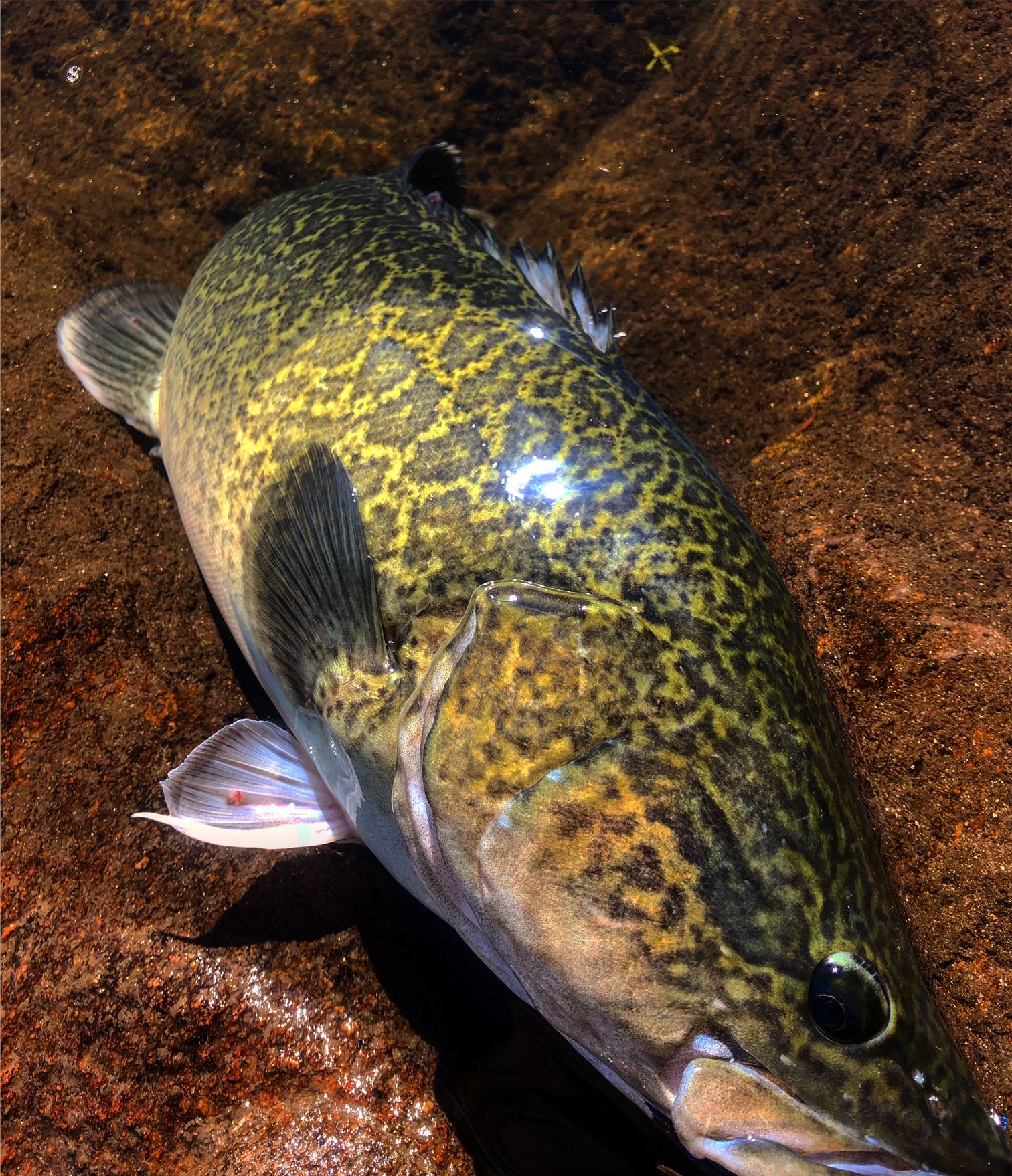 The majority of all high country Murray Cod we catch on the fly are carefully released back into the rivers and streams.