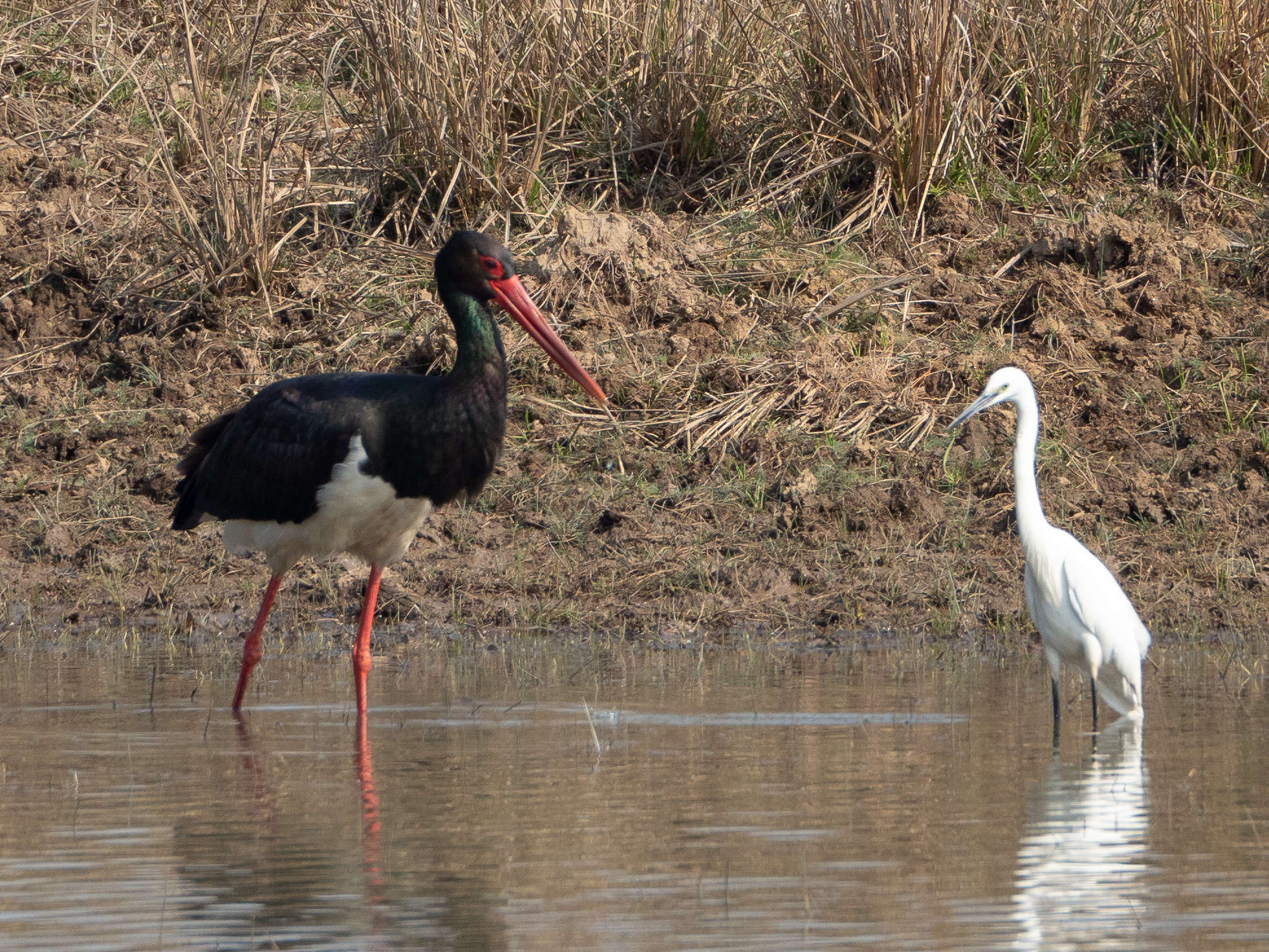 Black stork and intermediate egret.jpg