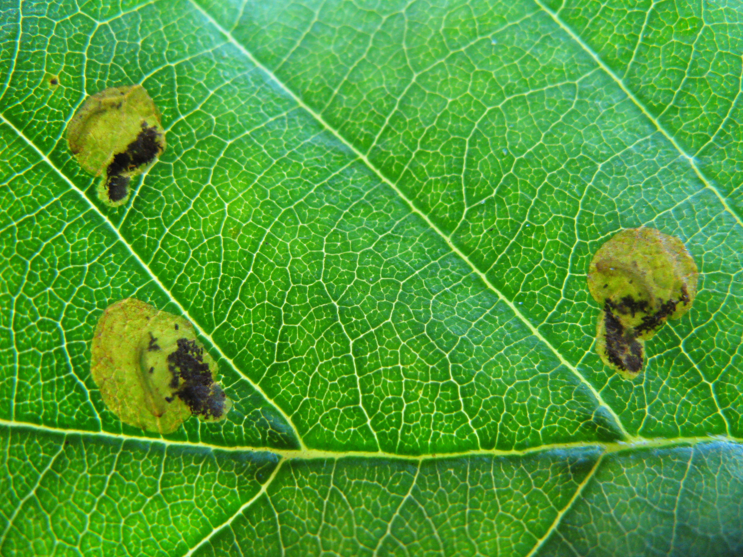 Mines of  Fenusa dorhnii  on alder