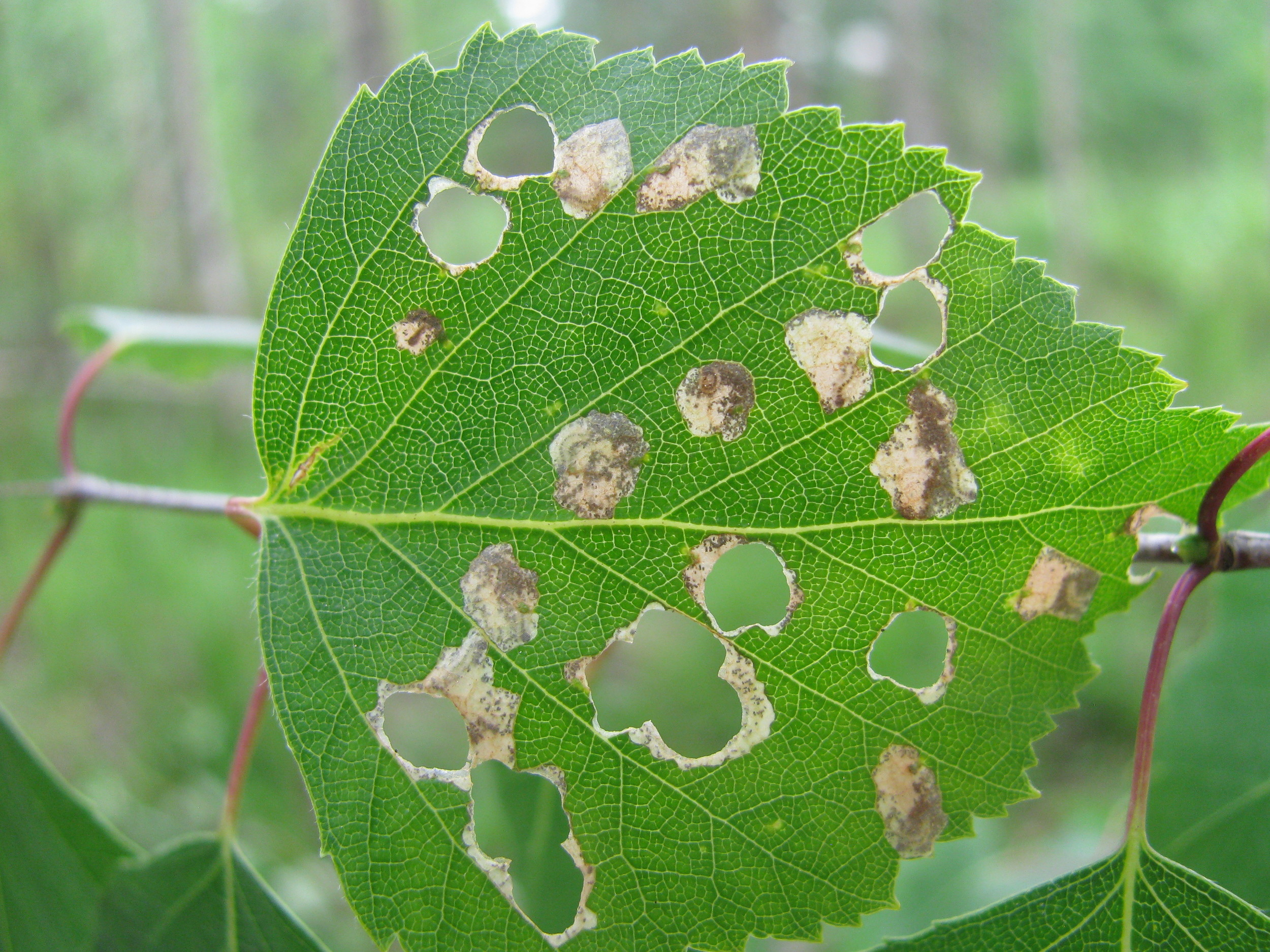 Mines of  Incurvaria pectinea  on birch
