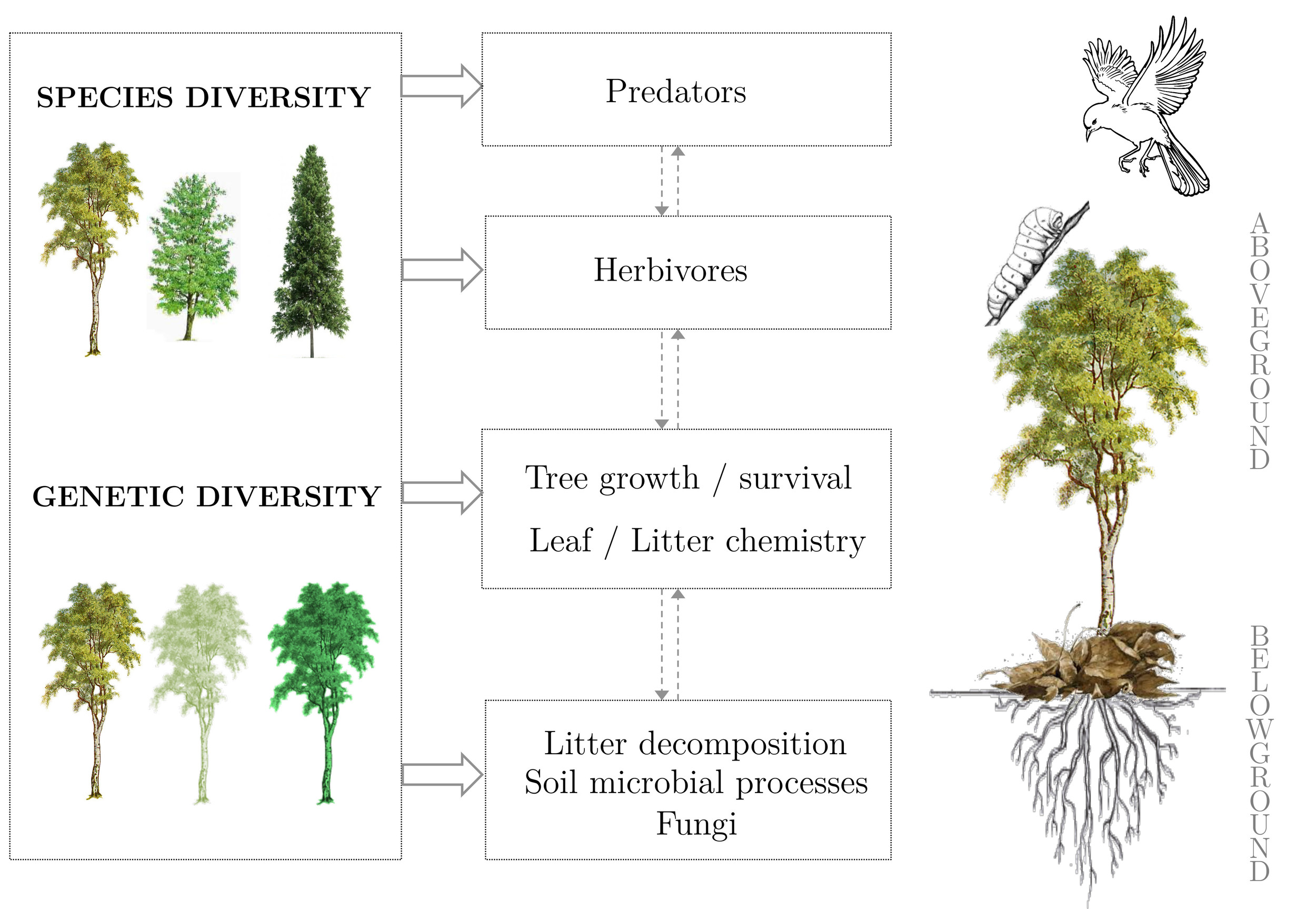 Figure 1 : Direct (solid arrows) and indirect (dashed arrows) effects of tree species and genetic diversity on above- and belowground processes.
