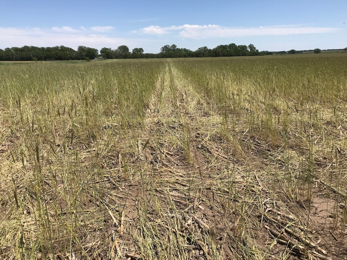 """Pierce County farmer Steve Keck received excess moisture this spring and decided to plant soybeans into a """"green"""" rye cover crop, letting the cereal rye cover crop grow longer before terminating it to utilize excess soil moisture and dry the soil for planting. If you have irrigation you can allow for more cover crop growth as you are able to replace moisture used by the cover crop in exchange for the soil health boost the additional biomass provides."""