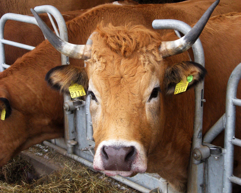 Bettina, eine der Aubrac-Mutterkühe