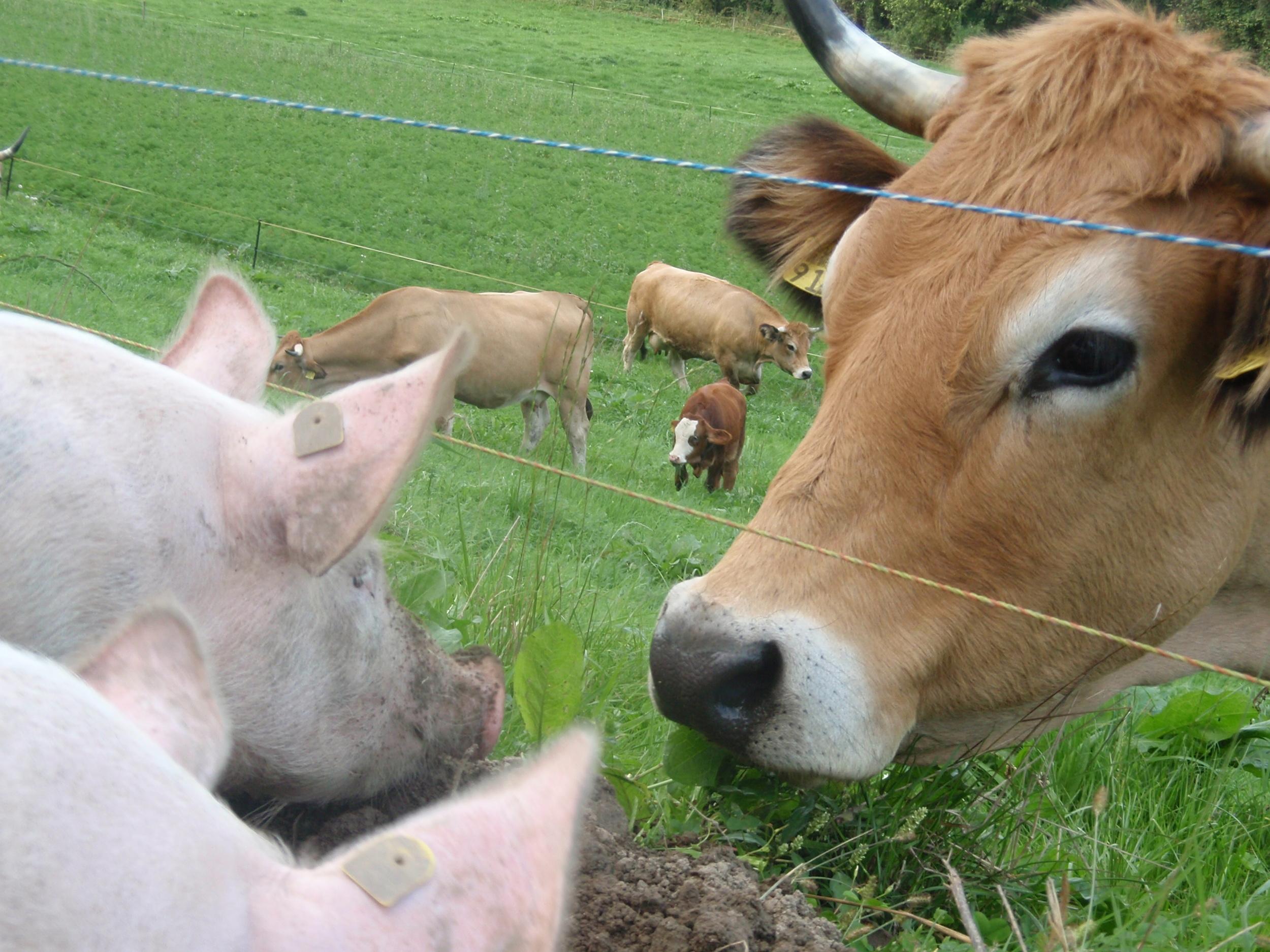 Cow meets Sau