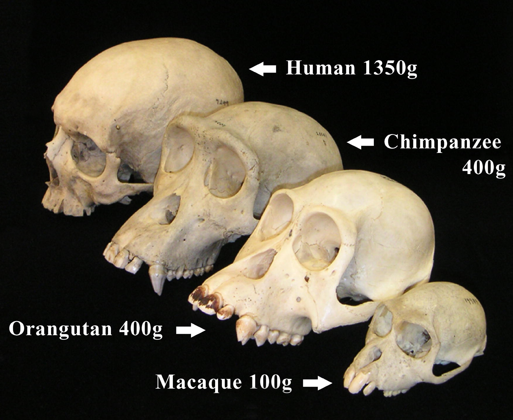 A few primate skulls with brain masses indicated