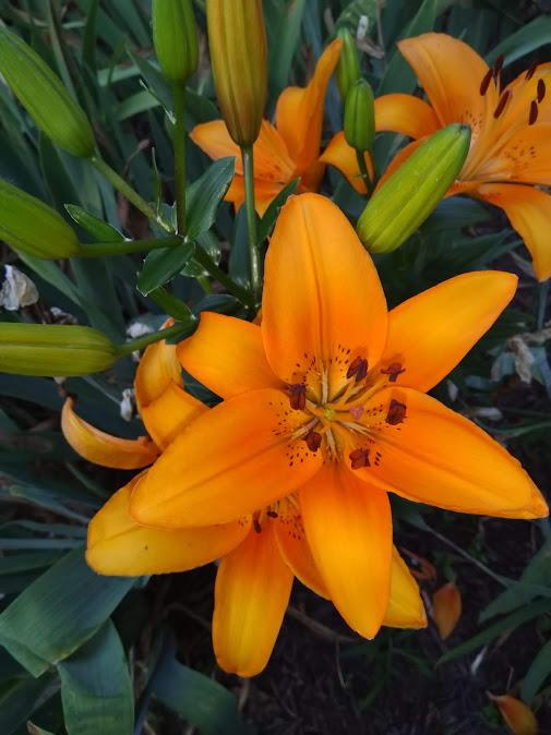 backyard lily.jpg