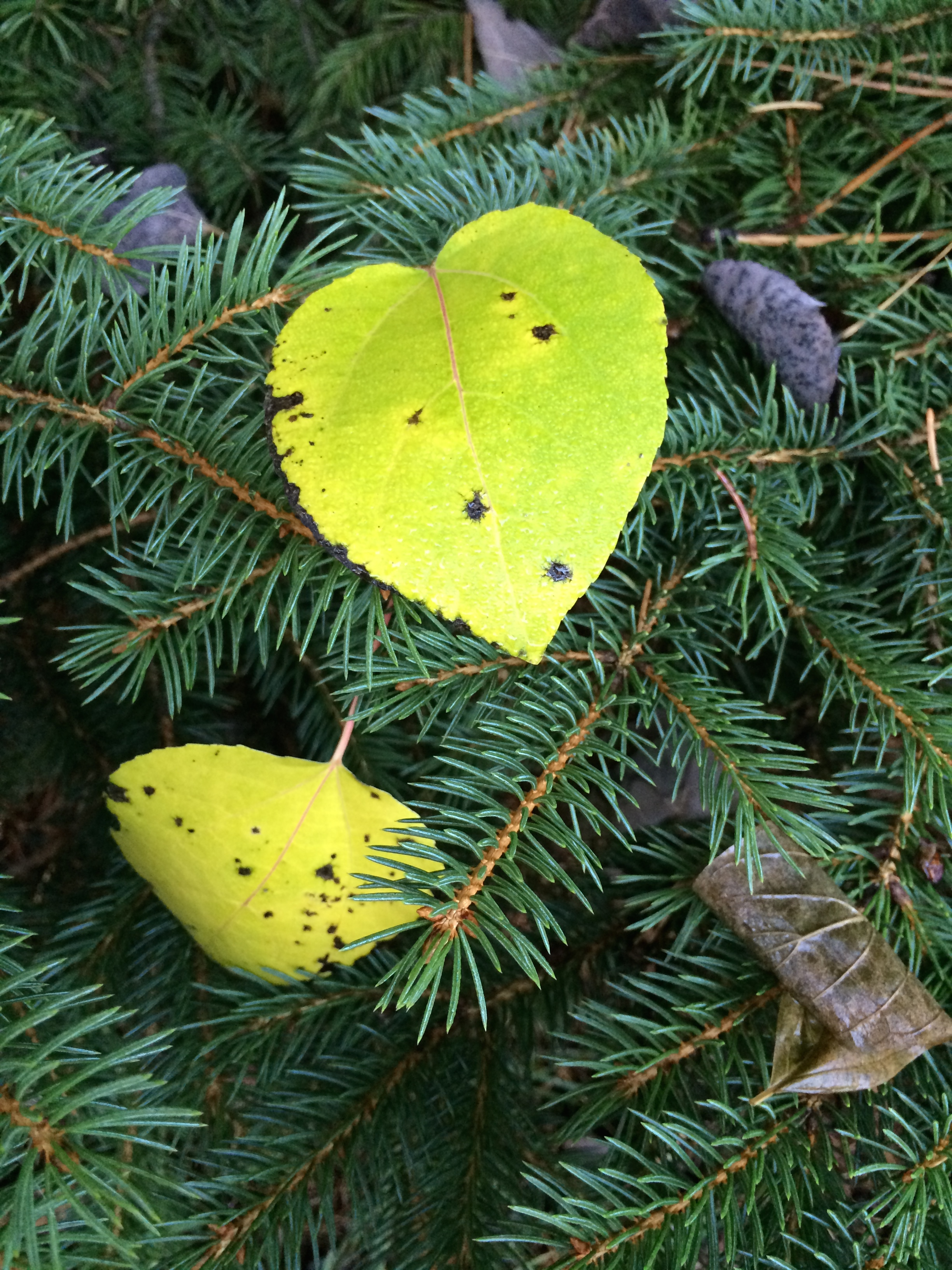 Jani pine tree heart leaf.jpg