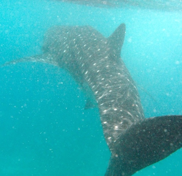 Whale shark, Maldives.