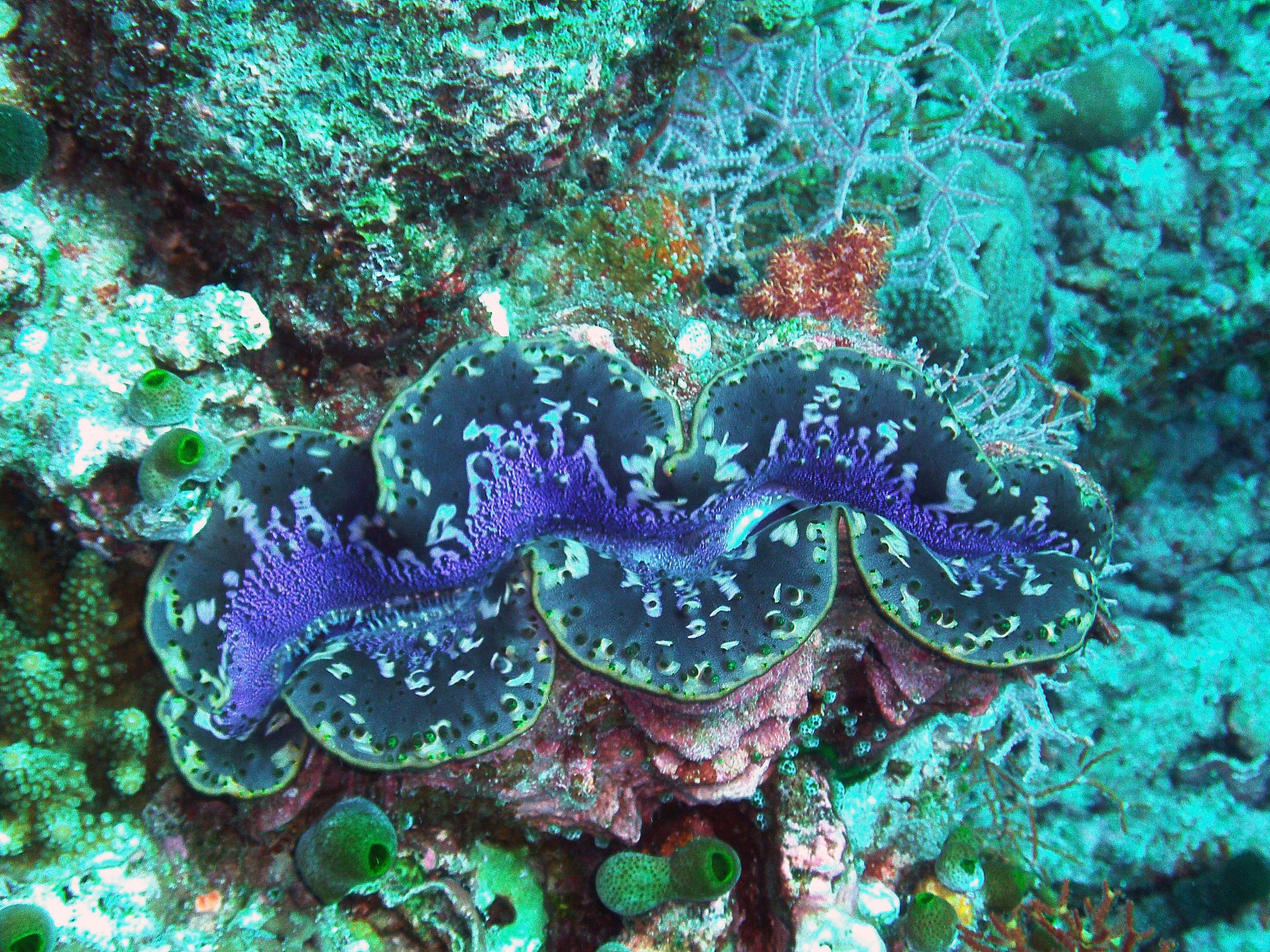 Giant clam,  Lakshadweep, India.