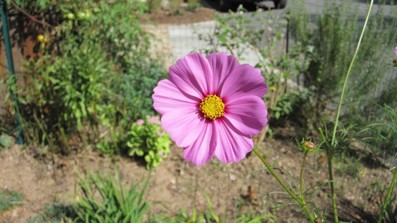 Cosmos flower, photo by Joseph D'Agnese