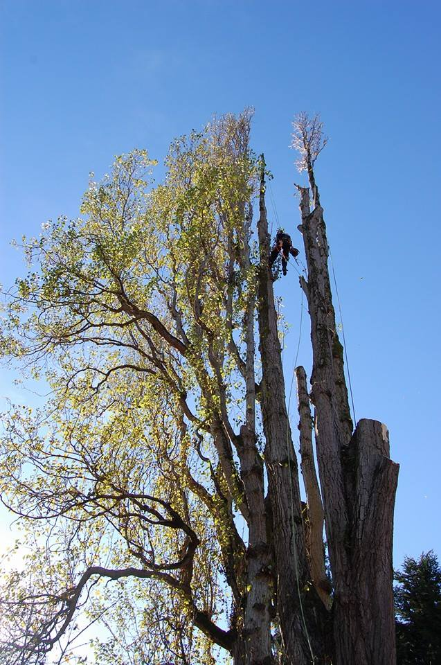 A very large Lombardi Poplar removal downtown with armallaria rot.