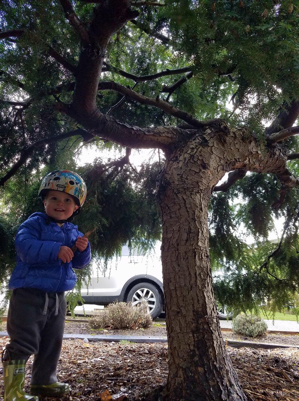 Our junior arborist Kallen inspecting our property's ornamental hemlock tree.
