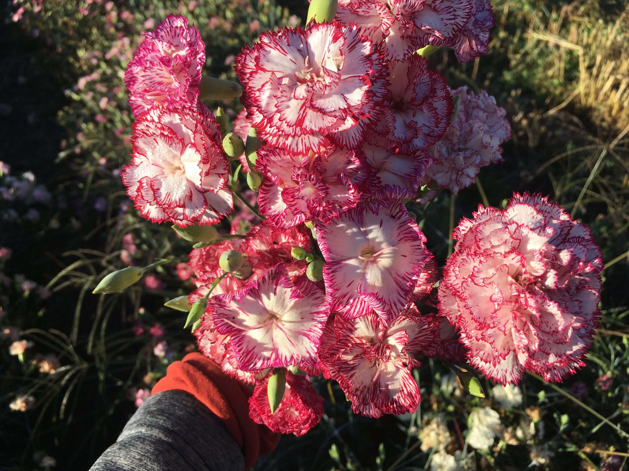 Heirloom Carnations