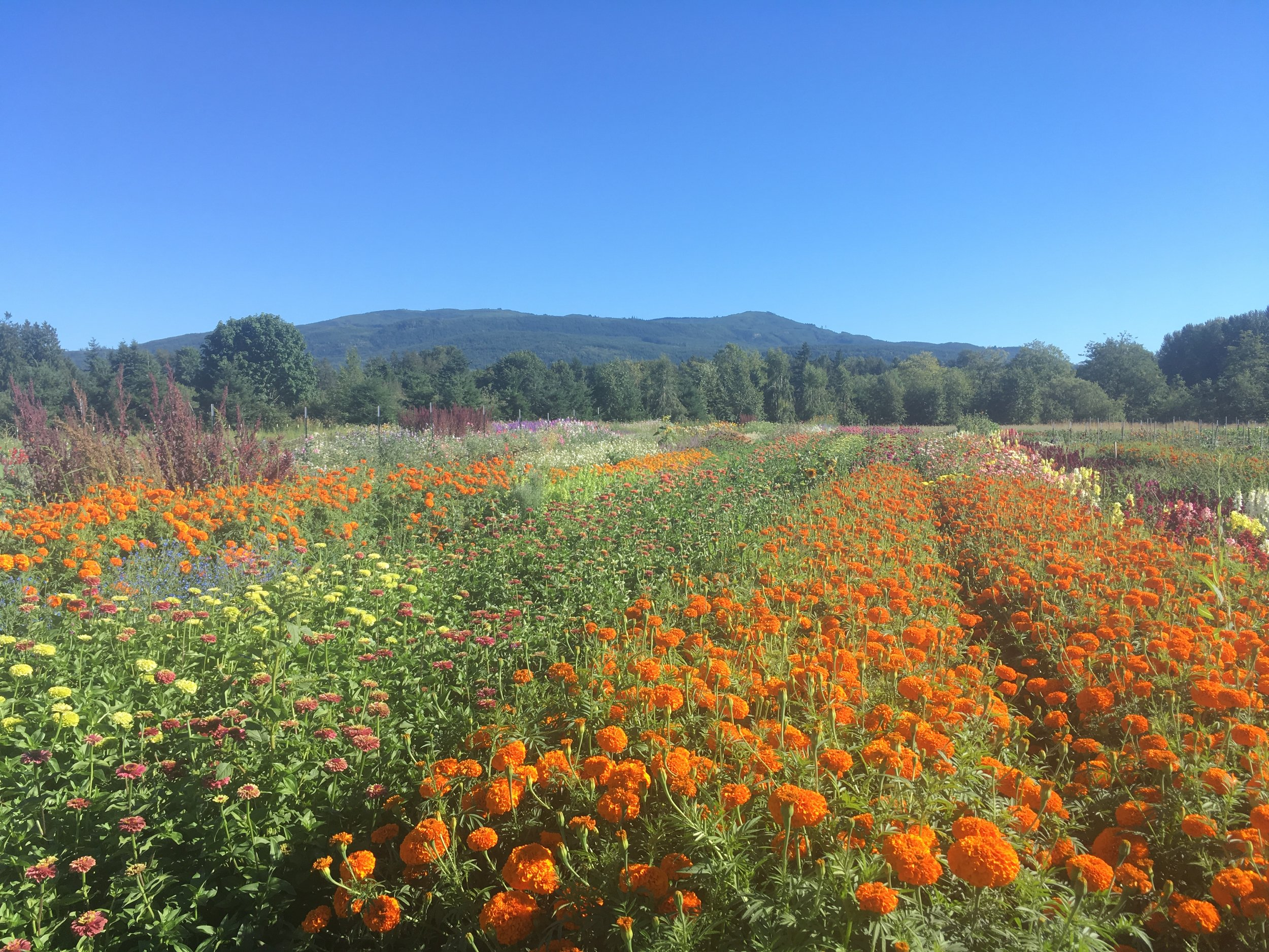 Late July flower fields
