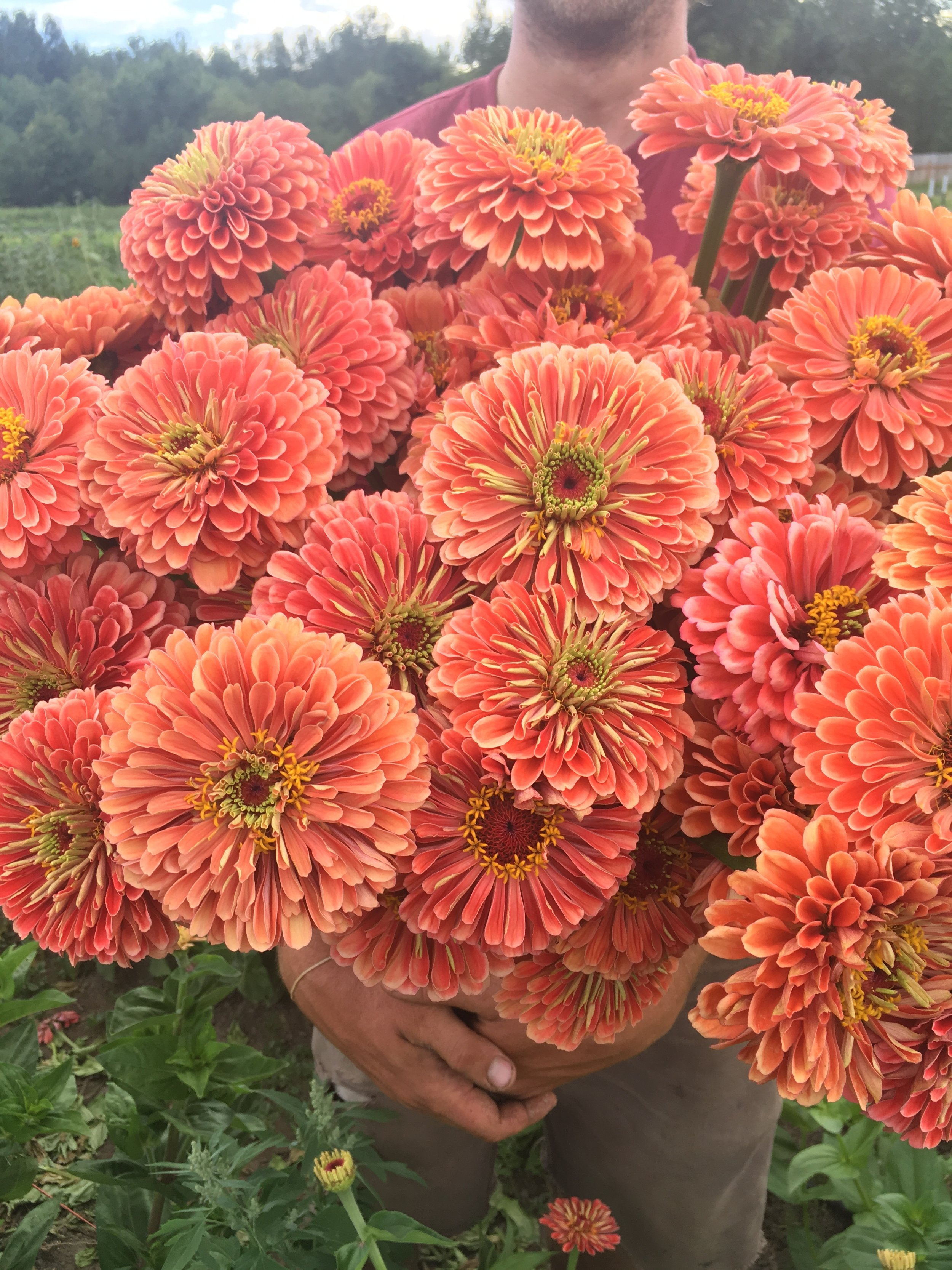 Salmon Rose Zinnias