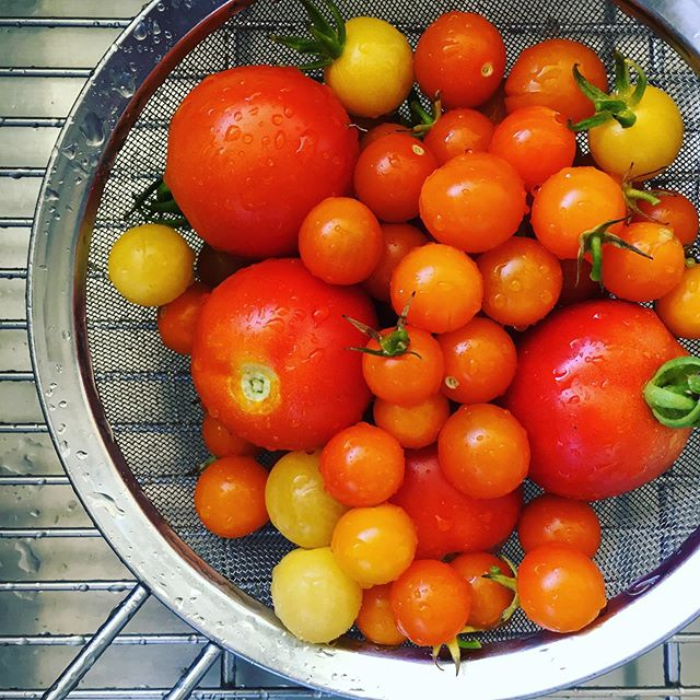 Gorgeous tomato bounty I just gleaned from my parents garden. Dad has a green thumb!