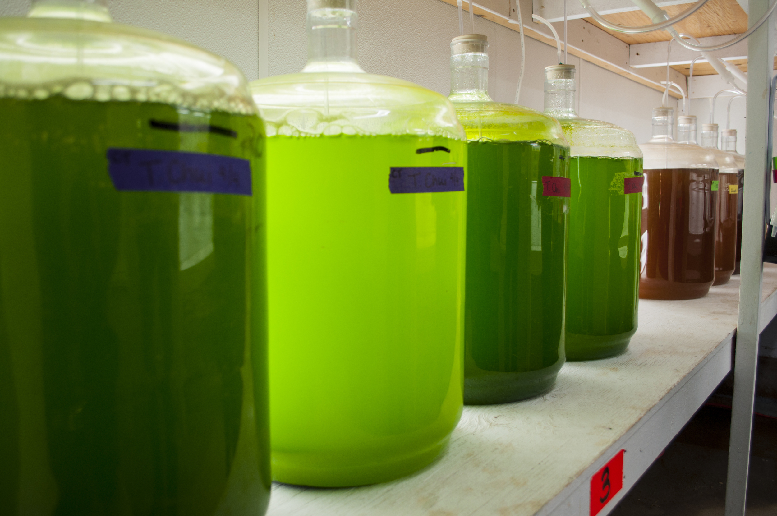 Different types of algae grown for feeding oysters while they're in the hatchery