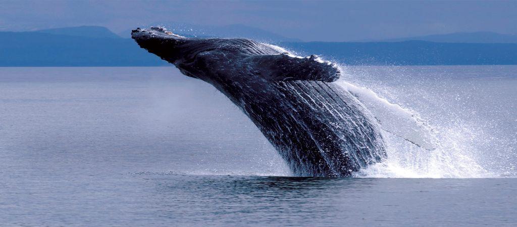 Humpback Whale - Breaching