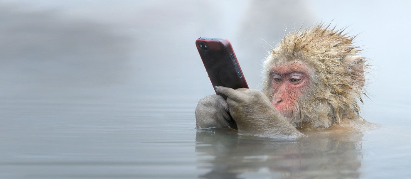 did a Japanese Macaque steel an iPhone off a tourist, who wanted a closer shot? Photo taken by  photo by:  Marsel van Oosten