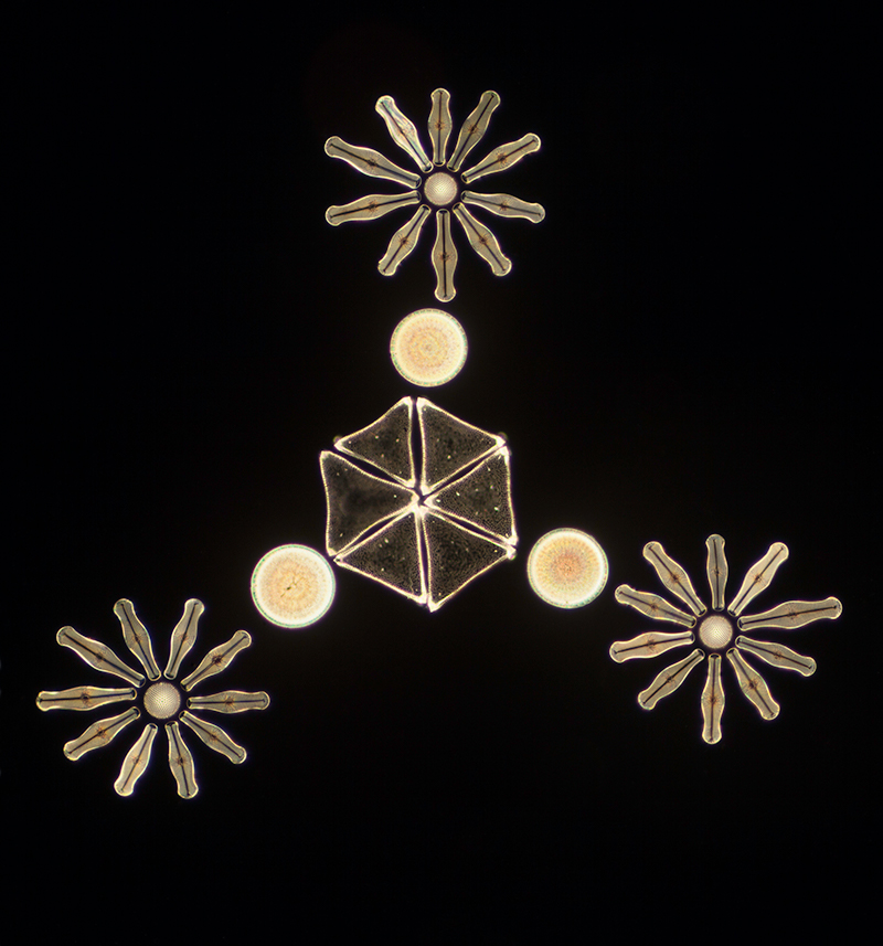 Wayne Barrar arranged diatoms S.jpg