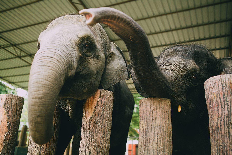 Staring elephant