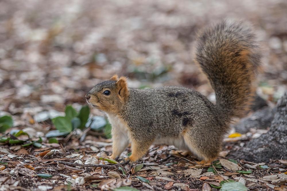 2491266_la-me-uc-berkeley-squirrels-dasilva_11.jpg