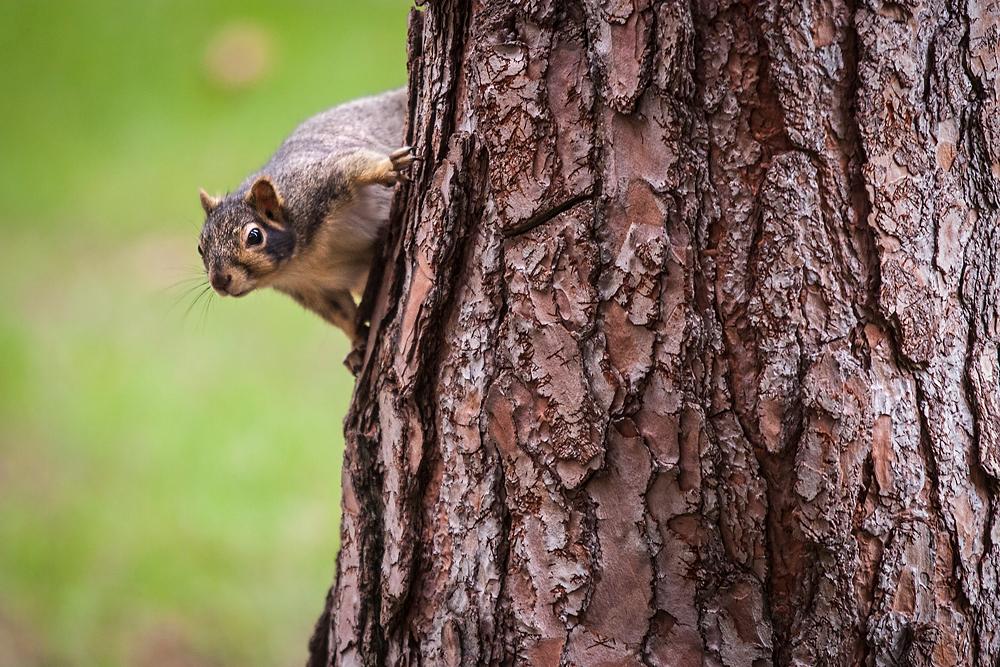 2491266_la-me-uc-berkeley-squirrels-dasilva_12.jpg