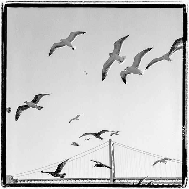 "LIFE SQUARED - ""birds of a feather"" © 2018 Peter DaSilva. #summer #sun #birds #baybridge #flight #overhead #120 #ilford #delta400pro #bw #film #fullframe  #rolleiflex #35e3 #filmisnotdead #filmlover #6x6 #analog #nophotoshop #filmphotographer #pdsphoto #peterdasilva #analogueposse"