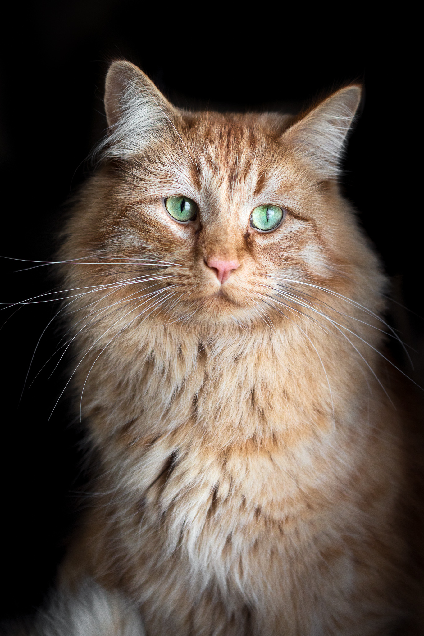 Orange cat black background