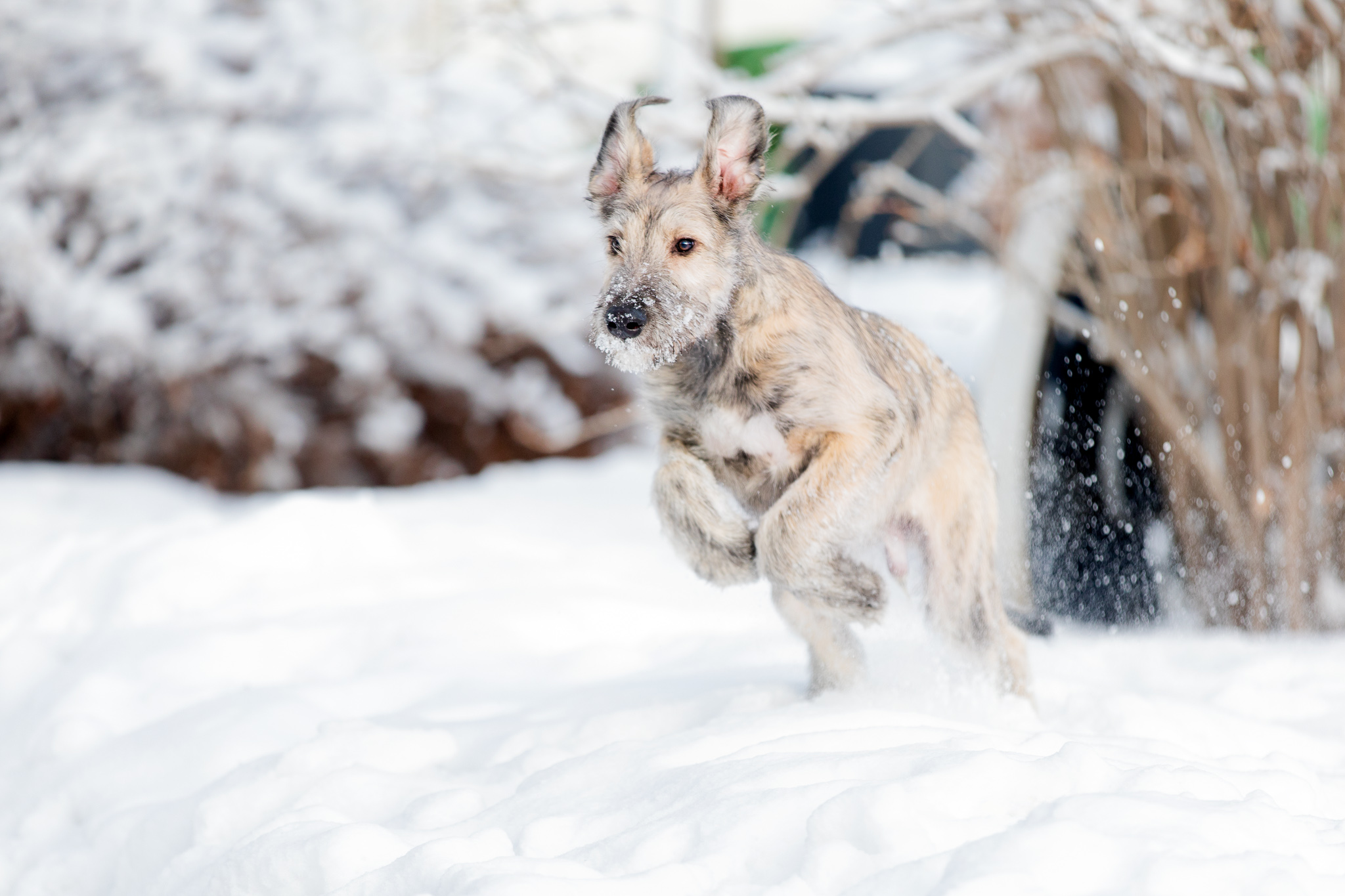 Puppy leaping in snow