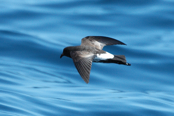 Come back! The New Zealand storm - Image credit: Petrel     Aviceda at English Wikipedia