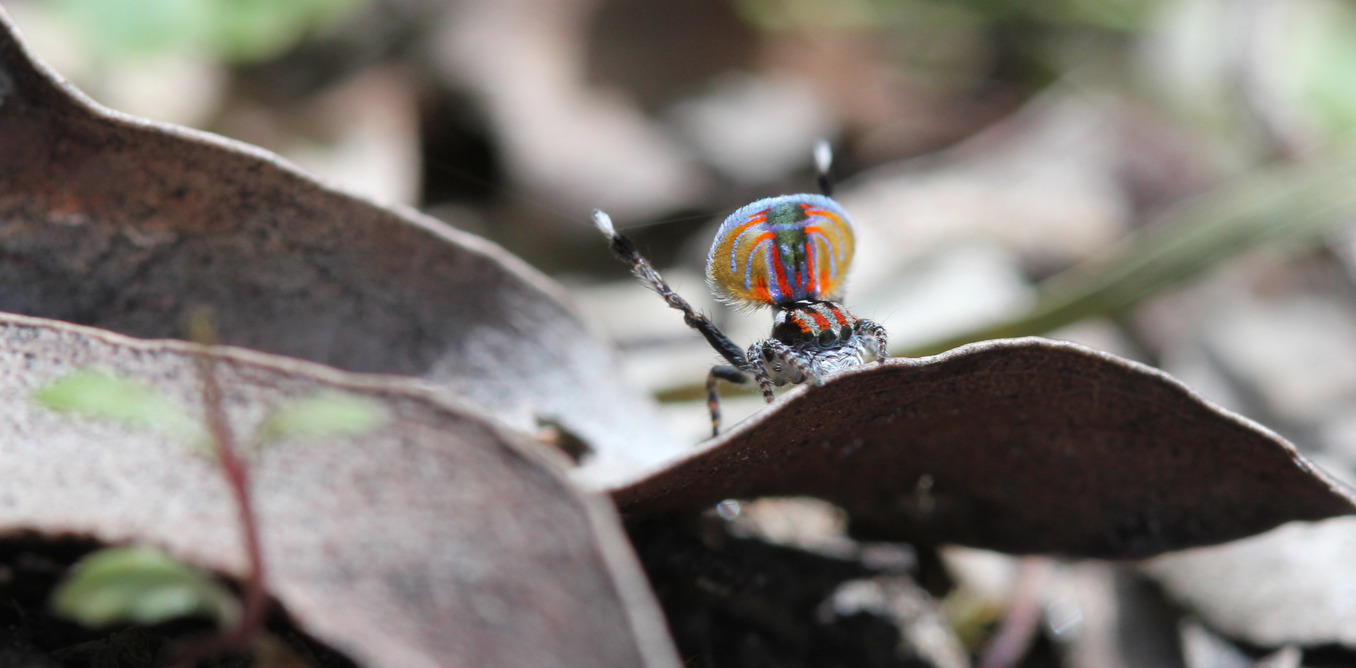 Look at me! They're not called peacock spiders for nothing. - Image Credit:  Maddie Girard  ,    Author provided
