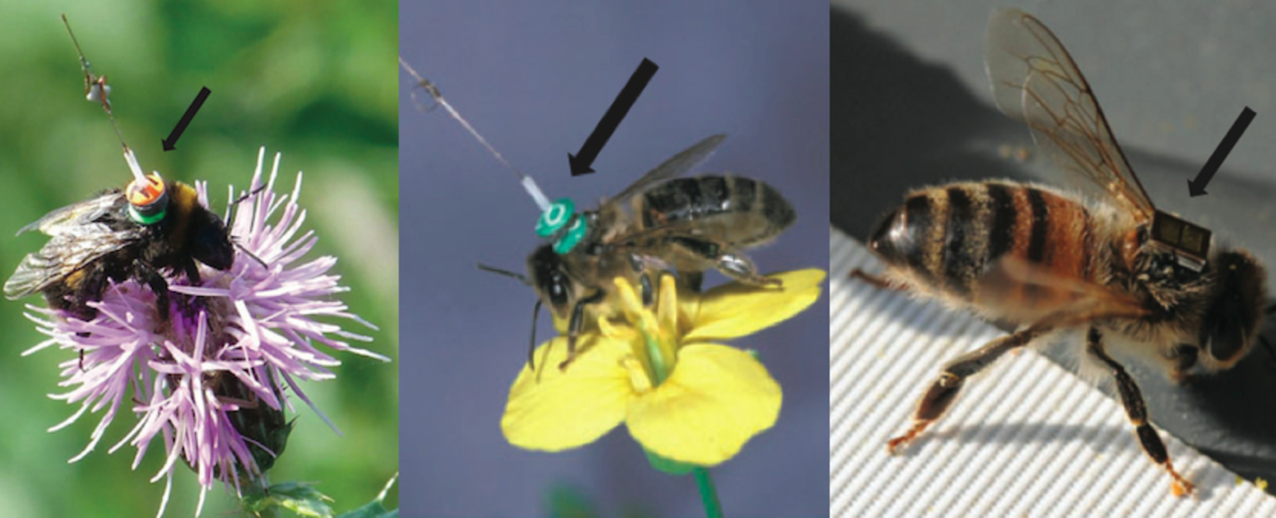 Previous attempts have either been too heavy (left + centre) or too weak to send long-distance signals (right)     Stephan Wolf (L), Andrew Martin (C), ACTA & Axel Decourtye (R); taken from Kissling et al / Biological Reviews