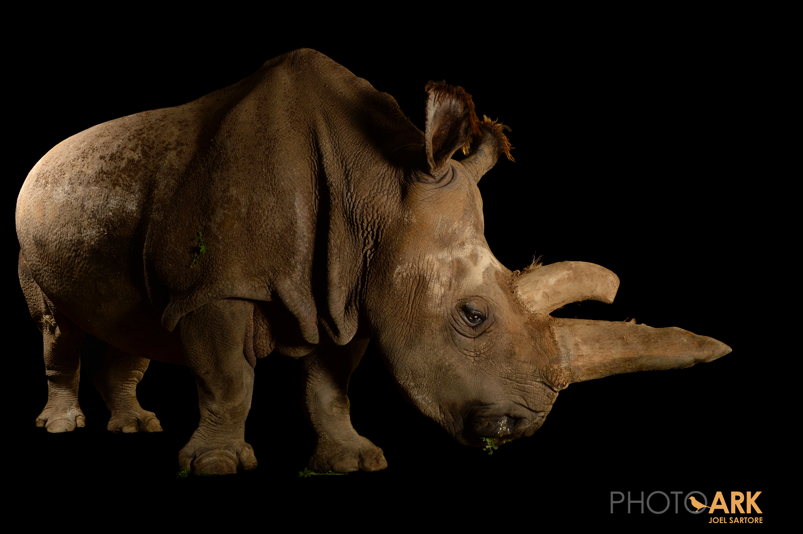 The northern white rhino Nabiré, a 32-year-old female at ZOO Dvůr Králové, sadly died on 27th July, 2015. – Image Credit: Joel Sartore