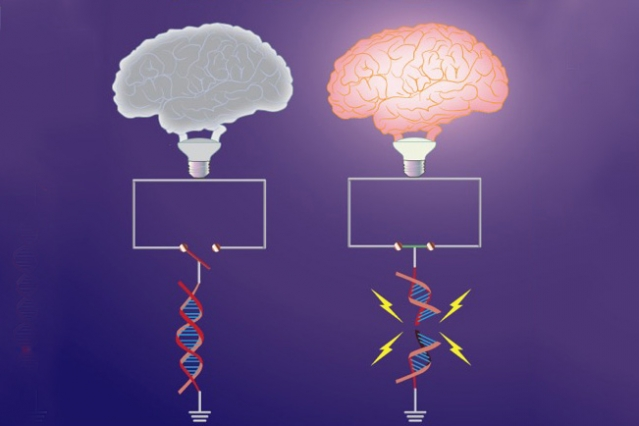"Early-response genes, which are important for synaptic plasticity, are ""switched off"" under basal conditions by topological constraints. Neuronal activity triggers DNA breaks in a subset of early-response genes, which overrides these topological constraints, and ""switches on"" gene expression. Shown here is the topological constraint to early-response genes represented as an open switch (left) that is tethered by intact DNA. Formation of the break severs the constraint, and promotes the circuit to be closed (right). The ""brain bulb"" represents the manifestation of neuronal activity - Image Credit: MIT"
