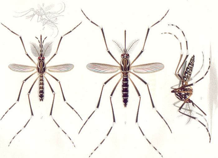 Aedes aegypti. Emil August Goeldi (1859-1917). - Image Credit:  Wikimedia Commons .