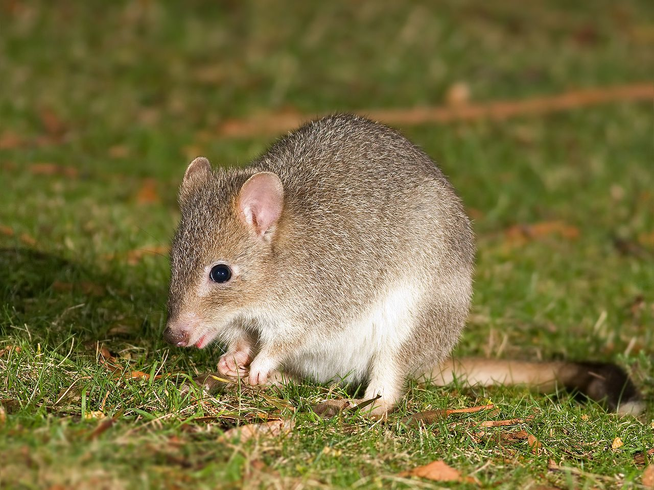 Near threatened: The Tasmanian Bettong (Bettongia gaimardi) is now part of a plan to save the species and restore a wider conservation area at Mulligans Flat. – Image Credit:  Wikimedia/JJ Harrison