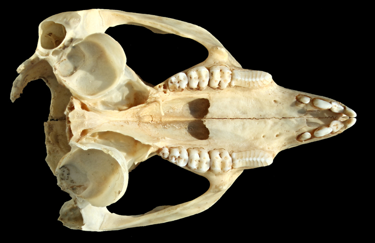 An incomplete skull and jaws are all that remains of the only individual of Bettongia anhydra ever to be found alive. The rest of the animal probably went into the cooks pot! - Image Credit: Matthew McDowell, Author provided