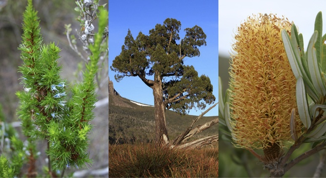 Plant species threatened by fire (L to R): Andersonia pinaster, Athrotaxis cupressoides, and Banksia verticillata. L to R: Sarah Barrett, brewbrooks/flickr (CC BY-SA 2.0, https://flic.kr/p/7g7BGb), Sarah Barrett
