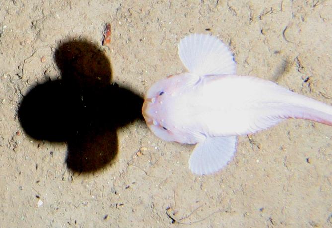 A snailfish swims 7,400 metres below the surface. Alan Jamieson, Author provided