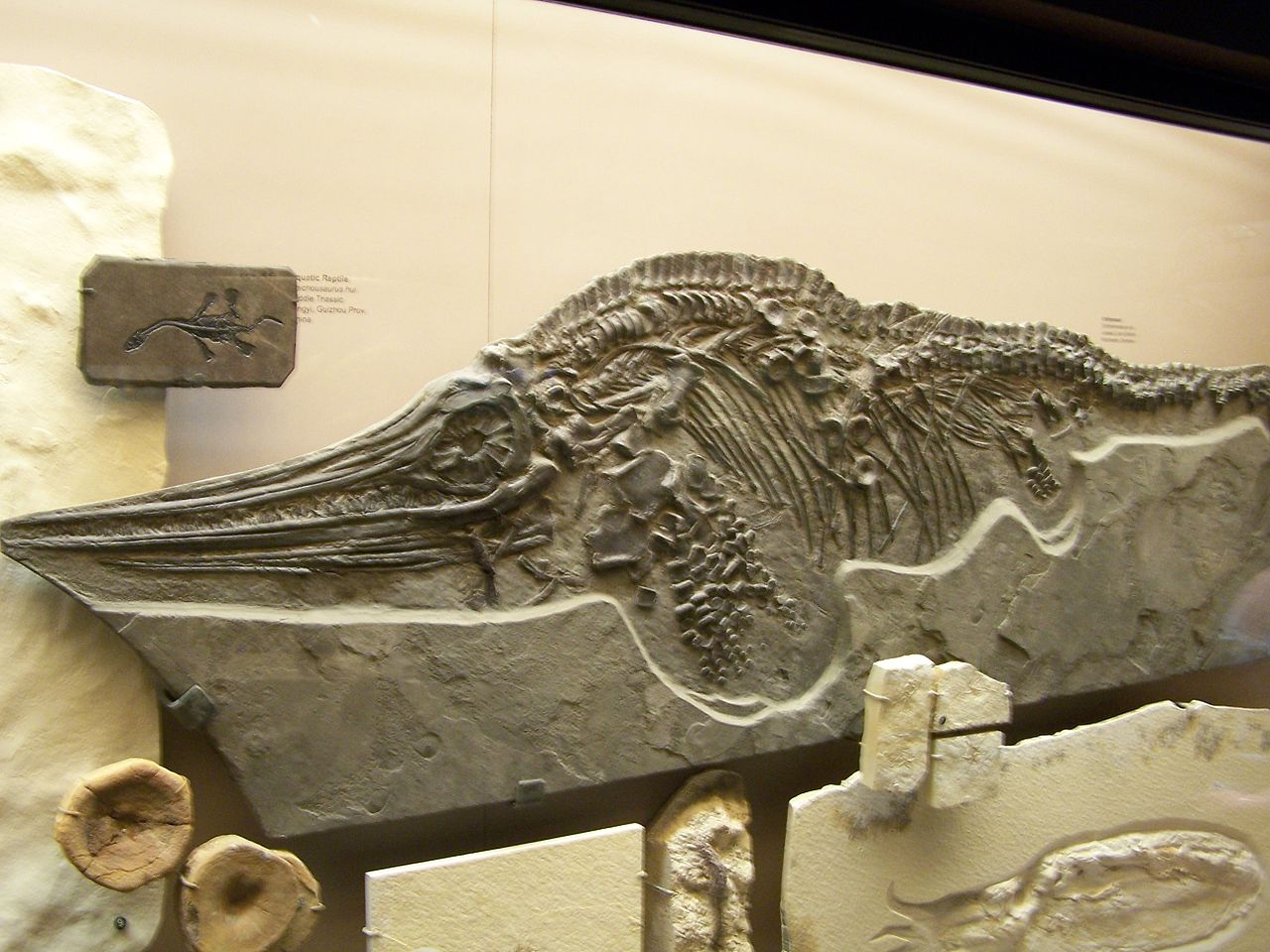 Ichthyosaur fossil. – Image Credit: Zach Tirrell/Wikimedia Commons , CC BY-SA