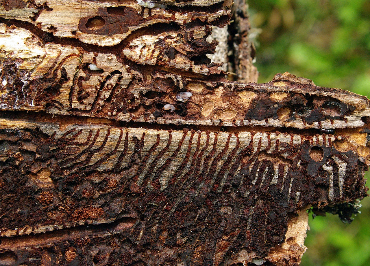 Spruce bark beetles were here…and it didn't end well for the tree. - Image Credit:  Tõnu Pani/WikimediaCommons,   CC BY-SA
