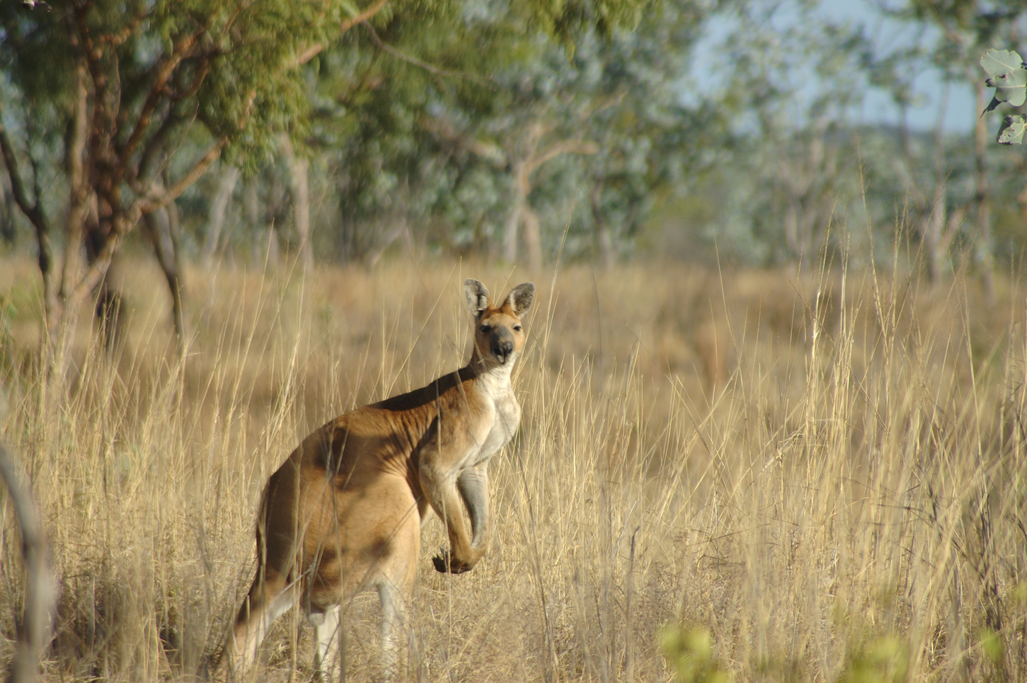 A large male antilopine wallaroo, endemic to tropical Australia. – Image Credit: Euan Ritchie