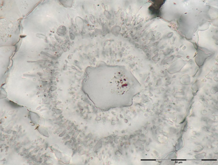 Microscopic iron-carbonate (white) rosette with concentric layers of quartz inclusions (grey) and a core of a single quartz crystal with tiny (nanoscopic) inclusions of red hematite from the Nuvvuagittuq Supracrustal Belt in Québec, Canada. These may have formed through the oxidation of organic matter derived from microbes living around vents. Image Credit: Matthew Dodd/UCL.