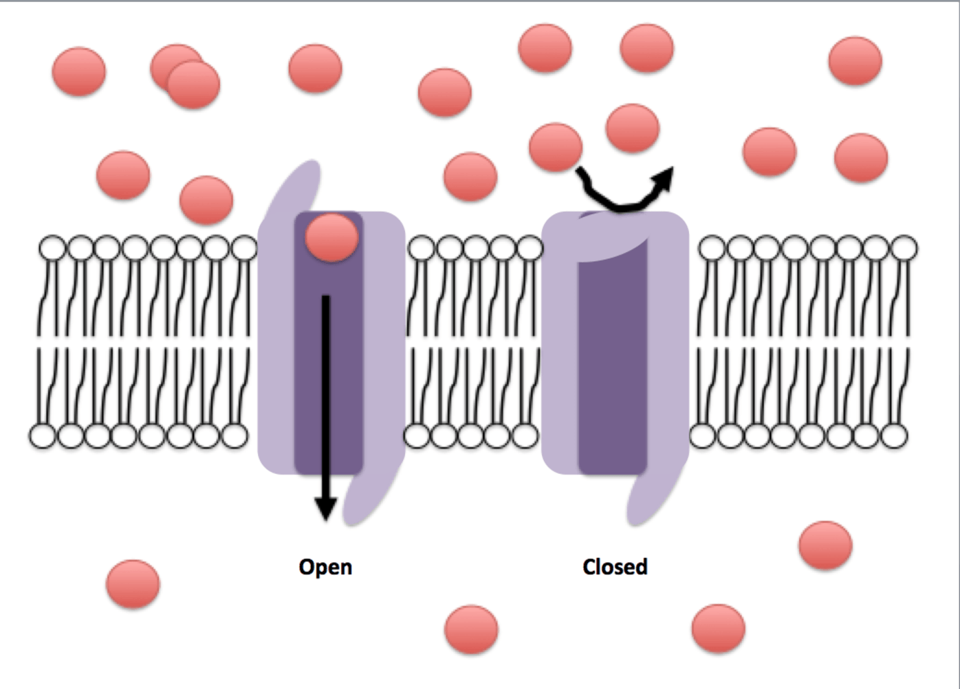 Channels in a cell's membrane act as gatekeepers, opening or closing to let molecules in or out in response to a particular stimulus. - Image Credit:  Efazzari ,  CC BY-SA