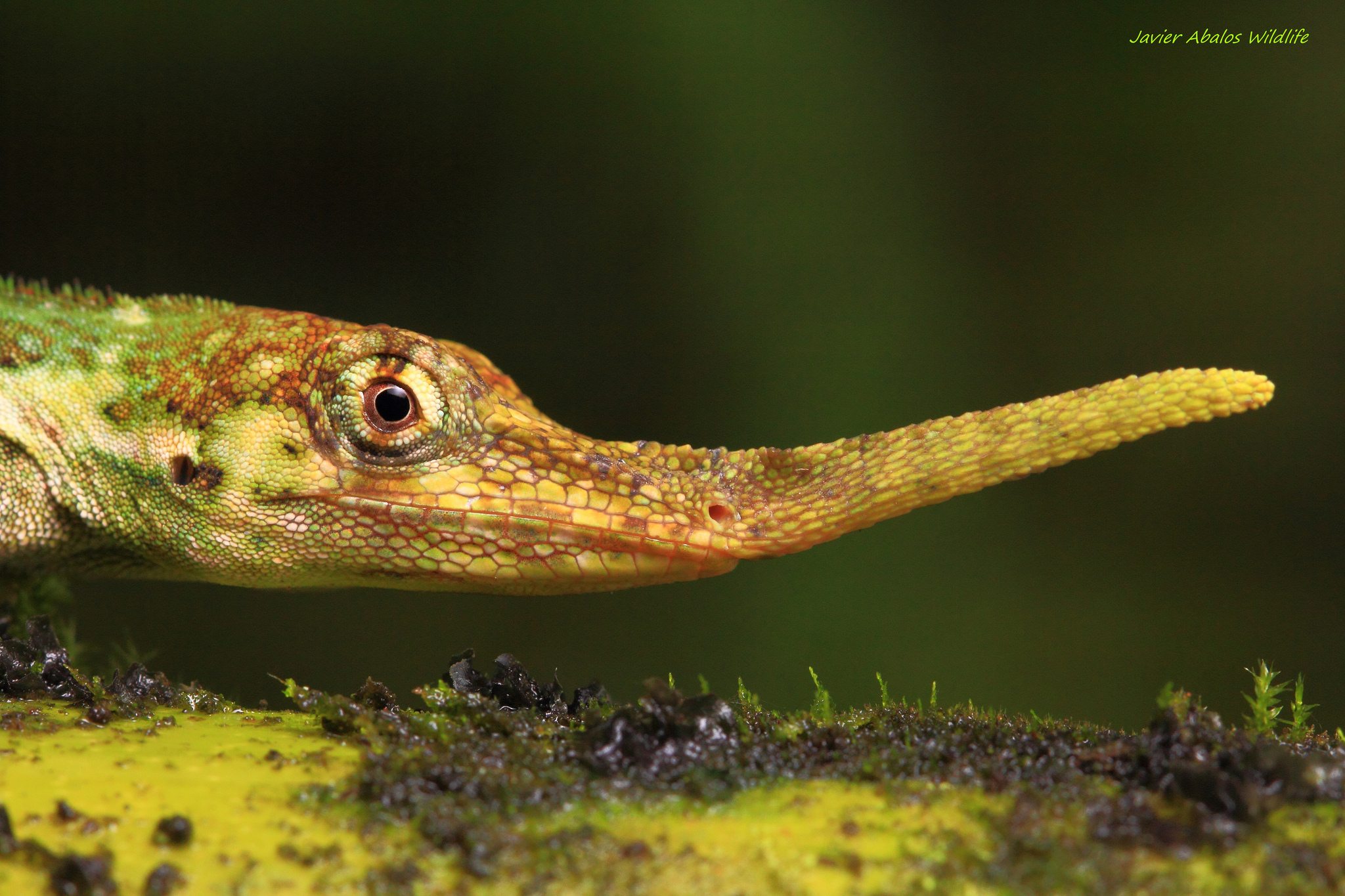 The Pinocchio anole lizard (Anolis probiscis) was first described in Ecuador in 1953, then believed to have become extinct until it was rediscovered in 2005. - Image Credit:  Javier Abalos Alvarez/Flickr ,  CC BY-SA